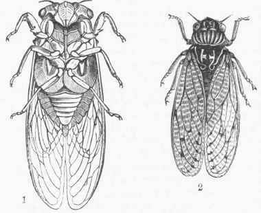 Harvest Fly