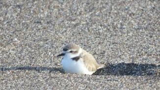 Snowy Plover, by Mark Gorges