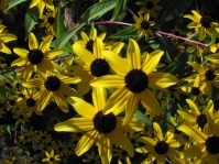 Winter sown seeds 5 - Black-eyed Susan- by Barb Gorges