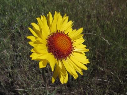 Winter sown seeds 9 - Gaillardia species - by Barb Gorges