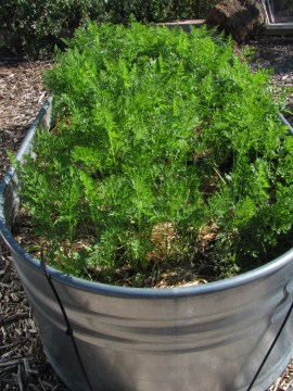 2016-6a raised beds 5 carrots