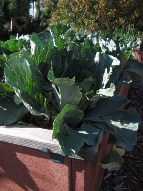 2016-6a raised beds 6 cabbage