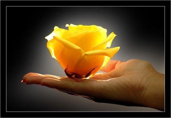 Jaune  ... fleur ... rose