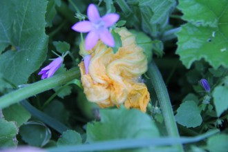 Fleur de pâtisson