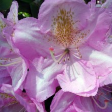 2105 Rhododendron 16
