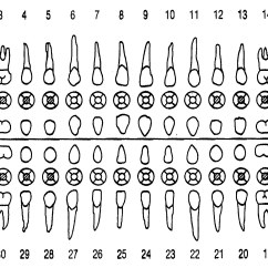 Diagram Of Teeth And Their Numbers 97 F150 Power Window Wiring Periodontal Charting What You Really Need To Know