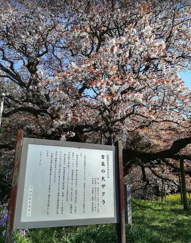 2019/04/13 吉高大桜02。