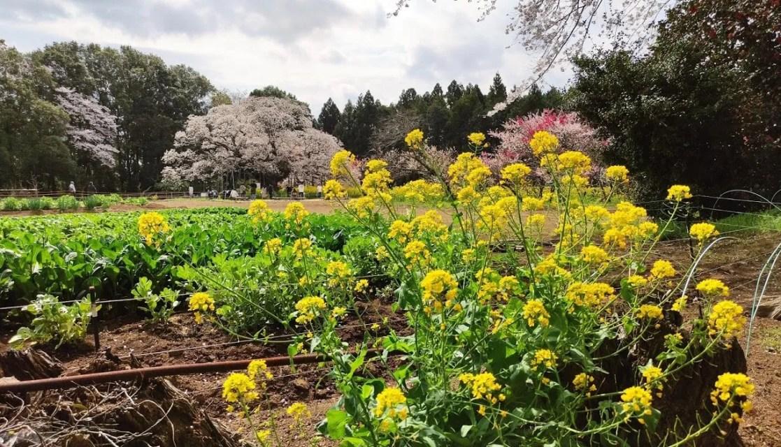 2021年の吉高の大桜。07