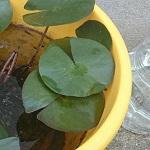 バケツ睡蓮の大量の藻は石巻貝2匹でどうなった?そして蕾は?