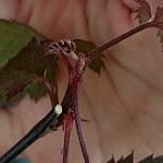 ブラックベリーとボイセンベリーの苗をネット通販で購入。鉢に植えつけたよ