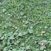 クラピアK5・S1・S2を植えて2ヶ月。広がり具合と雑草はどうなったか