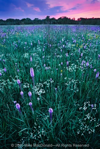 Gensburg-Markham Prairie is famous for its late July fanfare, when the fields ignite with white sparks of flowering spurge and purple torches of marsh blazing star.