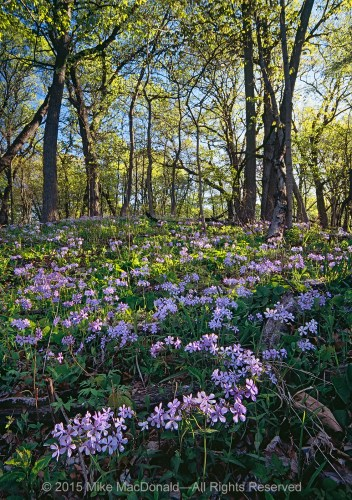 In May, woodland phlox covers the bluffs at Black Partridge Woods.