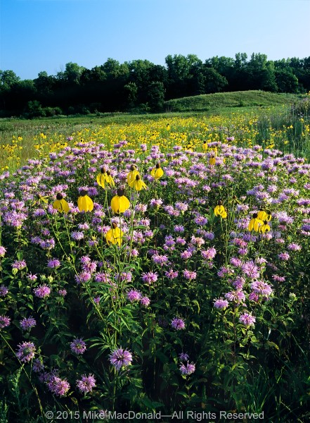 """Lavender in color and mint in fragrance"" describes wild bergamot. ""Whimsical with an aroma of anise"" describes yellow coneflower. Both are native to the prairie, and both are healers. Known as pioneer species, they are among the first plants to colonize disturbed or degraded areas. Their presence improves soil quality while allowing other plants to move in, leading to greater biodiversity.*"