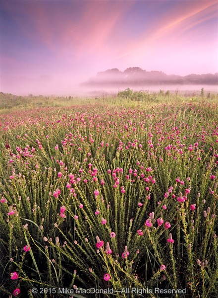 Come to Bluff Spring Fen early on a July morning and you might experience a chromatic expanse of purple prairie clover.