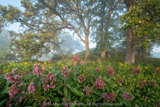 Soft sunlight, diffused by morning mist, filters across the preserve. Gathered at the base of the kame, fire-resistant bur oaks hover above a colorful caboodle of spotted Joe-Pye weed and tall goldenrod.*