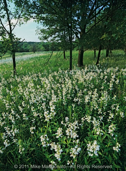 The spring prairie at Spears Woods provides a show of foxglove beardtongue.*
