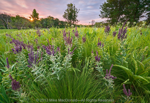 In late June, purple-flowered leadplant erupts in the praries and oak savannas, including here in the savanna at Somme Prairie Grove in Northbrook, Illinois.