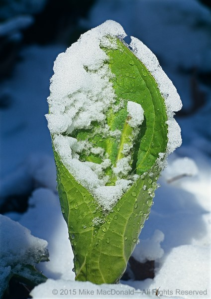 These tender leaves of skunk cabbage will soon develop into giants, up to two feet long and one foot wide.