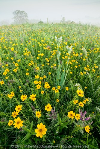 Atop this hill prairie, deep-rooted leadplants combine with the happy yellow faces of coreopsis as they shine through the dissipating fog.