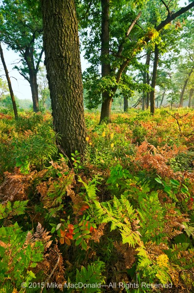 In the September savanna at Hoosier Prairie, ferns begin to change color before the trees.*