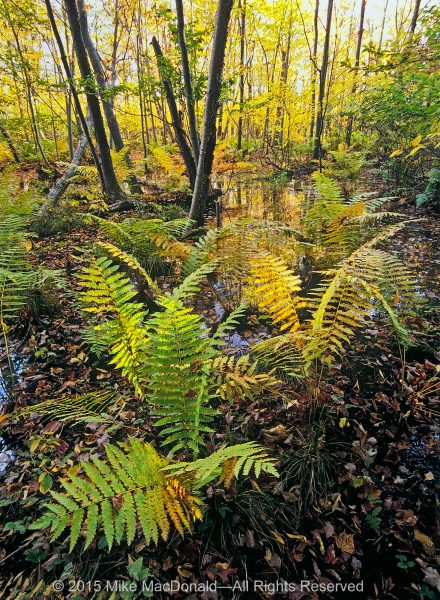 At Indiana Dunes National Lakeshore, acrobatic cinnamon ferns take hold in the soggy ground of Cowles Bog, which is not a bog at all but, rather, a wetland known as a fen.*