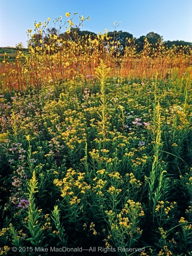 In August, a knee-high carpet of grass-leaved goldenrod sparkles in the midst of tall goldenrod and a soaring phalanx of prairie dock.