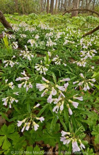 In April, the woodland floor at O'Hara Woods explodes with spring ephemerals including flowers like toothwort.