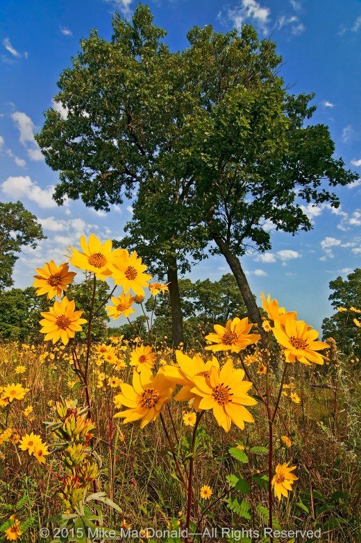 In a shining spot under the open canopy of the black oaks, western sunflowers smile in the late-summer sun at Pembroke Savanna.*