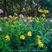 Chicago Wildflower Report & COVID-19 Nature Outings – 08/06/2020