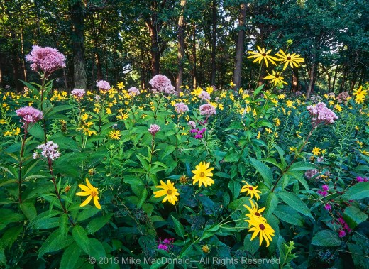 In 1985, this area was cast in total darkness, a dirt floor under an endless gray barrier of scraggly buckthorn. Now, after lots of love from volunteers, it is the edge of a woodland, well lit and teeming with tall flowers that reach for the sun. Here, we can see an August celebration of woodland sunflower, brown-eyed Susan, sweet Joe-Pye weed, and ironweed.*