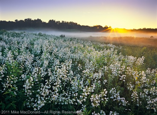 At Bluff Spring Fen in Elgin, Illinois, pearl blossoms of foxglove beardtongue catch the morning rays and a new day awakens—one as splendid and picturesque as any place on Earth.*
