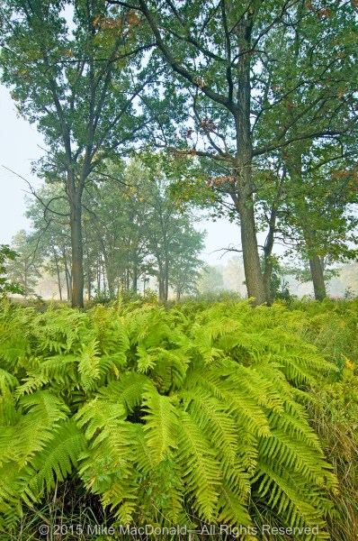 Royal ferns in the light fog of the savanna at Hoosier Prairie in Highland, Indiana