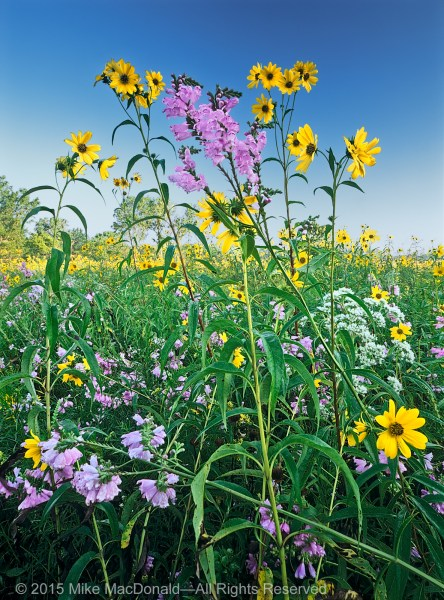 September at Wolf Road Prairie gives proof of nature's comfort, as sawtooth sunflower and obedient plant tangle in a glorious embrace.*