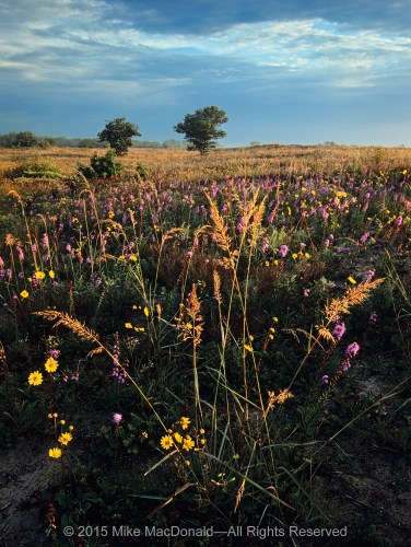 Late-summer morning light strikes the tops of indian grass, western sunflower, and rough blazing star at the sand prairie along the Lake Michigan shoreline at Illinois Beach State Park in Zion, Illinois.
