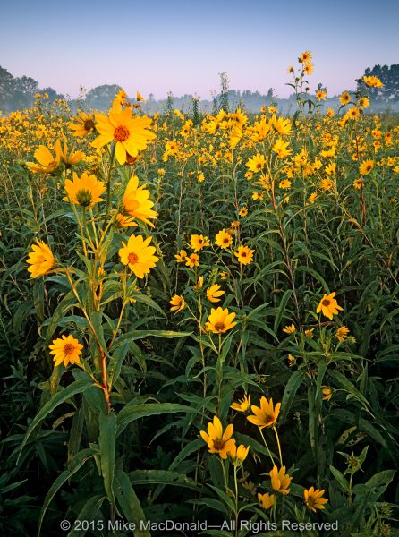 Sawtooth sunflowers bloom in fields of towering, endless gold in one of the last dramatic displays of the summer season at Wolf Road Prairie in Westchester, Illinois.*