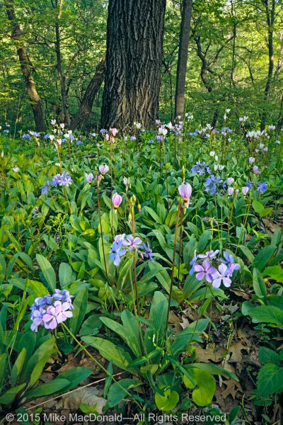Shooting stars and woodland phlox at Black Partridge Woods in Lemont, Illinois