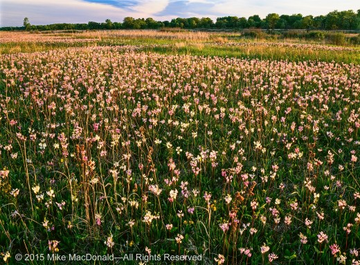 May at Chiwaukee Prairie offers a breathtaking display of shooting stars.*