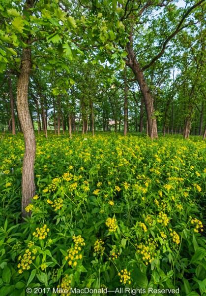 Golden Alexander brightens the oak savanna at Somme Prairie Grove in Northbrook.*
