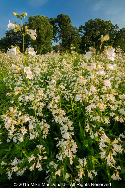 In June, foxglove beardtongue blooms in profusion at Bluff Spring Fen in Elgin, Illinois.*