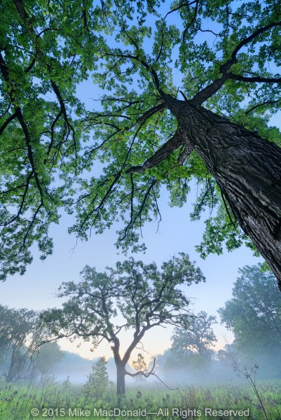 Soon after entering Bluff Spring Fen, you'll find yourself in an intimate oak savanna, where majestic bur oaks with outstretched limbs protect you in their nurturing embrace.*