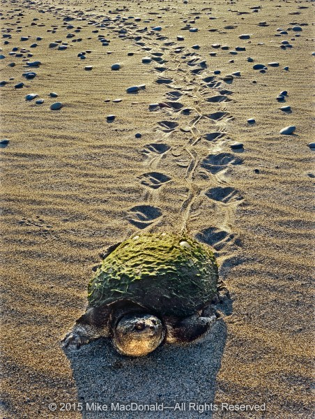 A common snapping turle trudges through the sandy Lake Michigan shoreline on its way to the Dead River at Illinois Beach State Park in Zion, Illinois.*