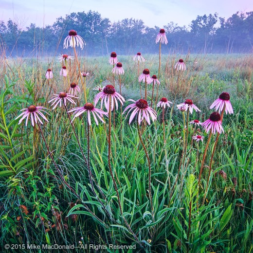 The predawn clouds take on the colors of the pale purple coneflowers at this dolomite limestone prairie at Theodore Stone Preserve in Hodgkins, Illinois.*