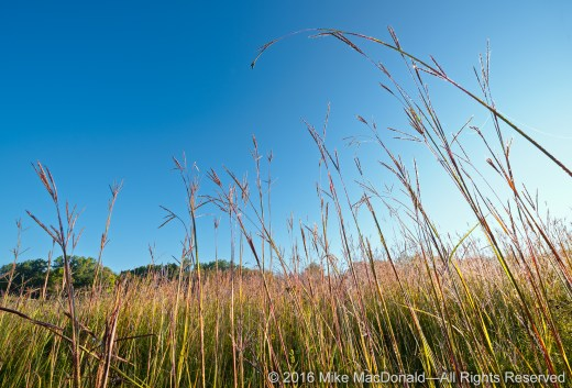 "Big bluestem grass gives the true meaning to the term ""tallgrass prairie.""*"