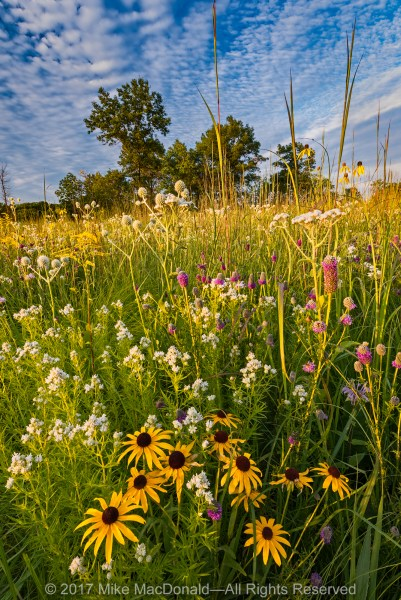 Myriad species bloom in the mid-July savanna at Somme Prairie Grove in Northbrook, Illinois.*