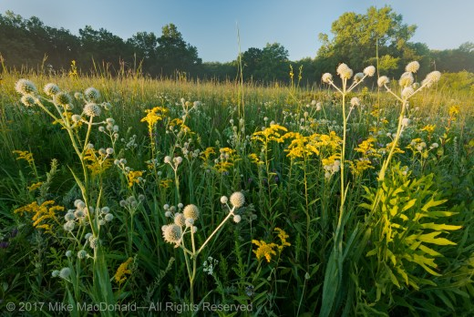 Late July in the savanna at Somme Prairie Grove in Northbrook, Illinois.
