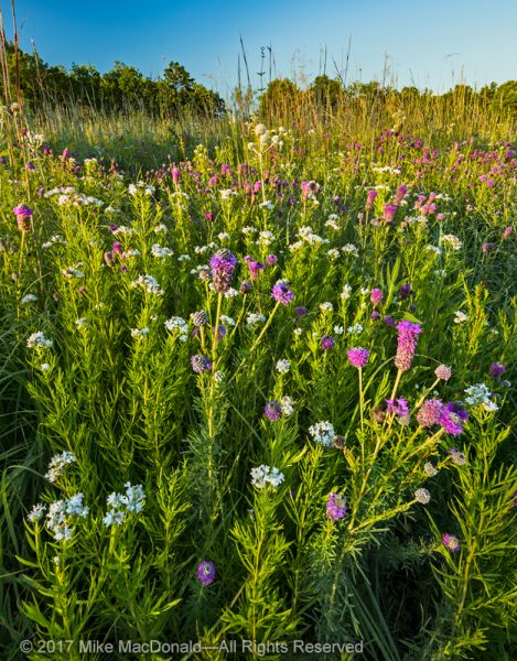 Purple prairie clover and mountain mint steal the show in this area of Somme Prairie Grove in Northbrook, Illinois.