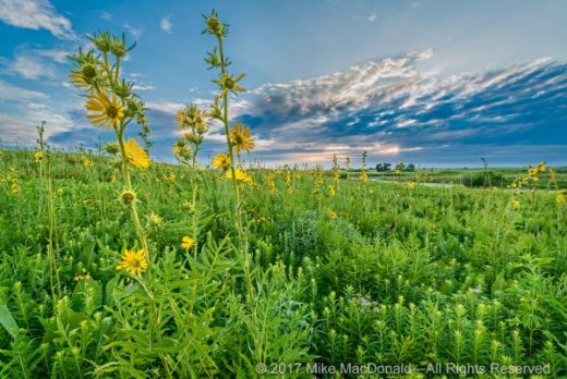 Landscape of Compass Plants at Springbrook Prairie in Naperville, Illinois.*