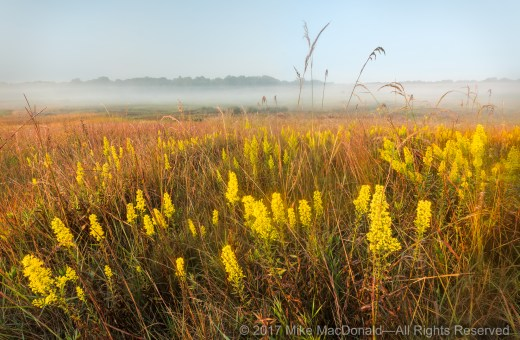 This expansive landscape features showy goldenrod as it glows in the morning light at Lake in the Hills Fen in Lake in the Hills, Illinois.