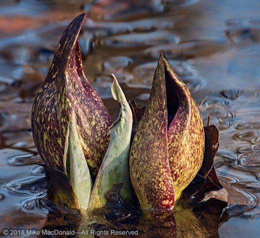 Skunk cabbage at Pilcher Park Nature Center in Joliet, Illinois.